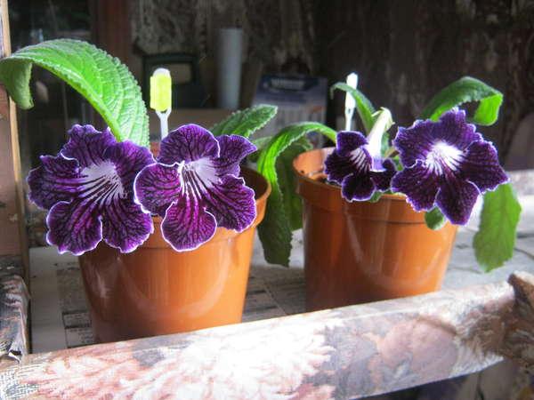 Стрептокарпус цветок уход в домашних условиях
