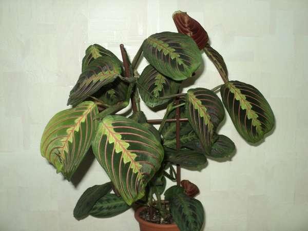 Маранта трехцветная (Maranta leuconeura 'Fascinator'(Maranta tricolor), Геснериевые от Ulmo, Фиалки, форум