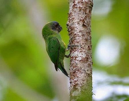 Синий Попугай» • Просмотр темы - Дятловый попугайчик Шлегеля ...