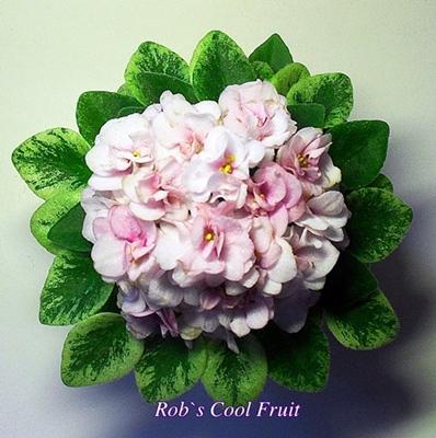 rob s cool fruit фиалка фото