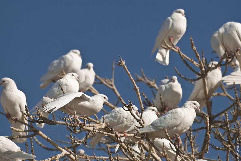 Настоящие голуби