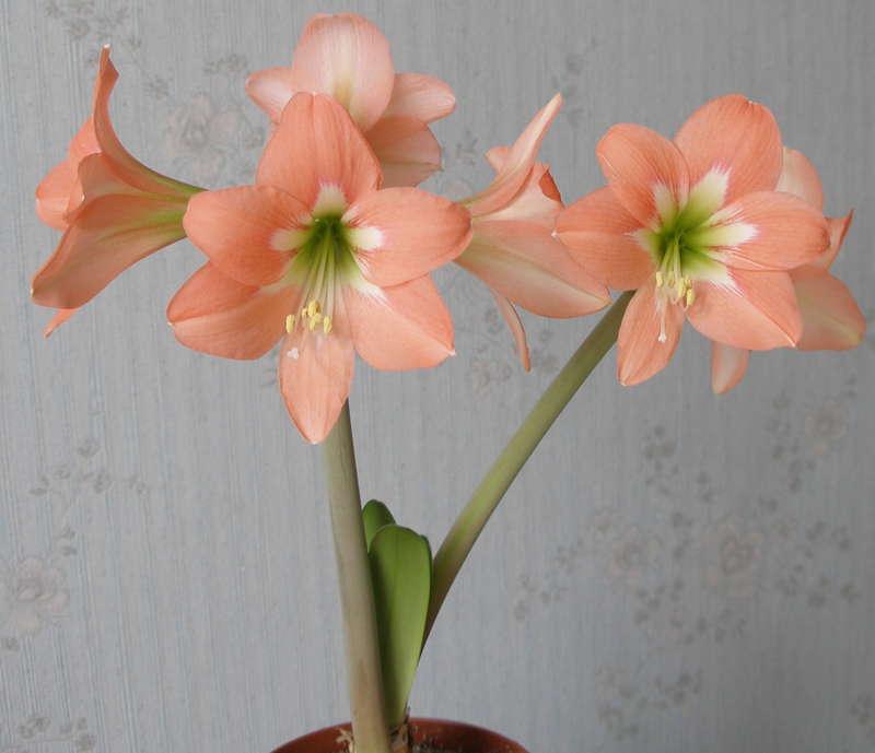 Mini Queen форум цветоводов фрау флора