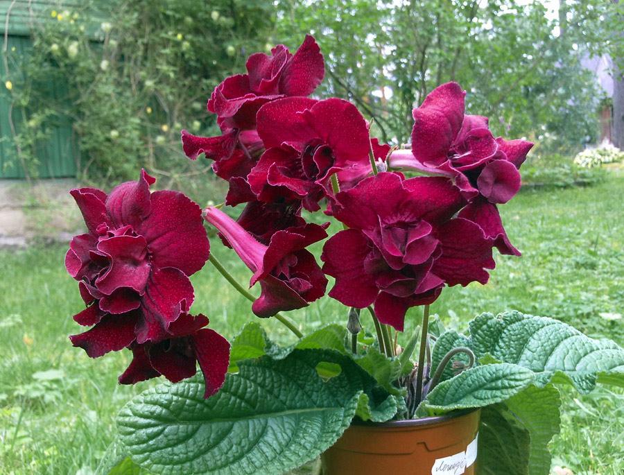 Кровавая роза стрептокарпус