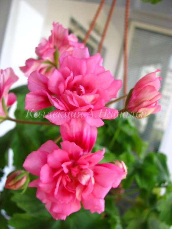unicorn zonartic rose пеларгония