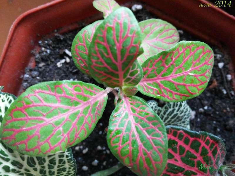 Комнатные цветы с красными и зелеными листьями 129