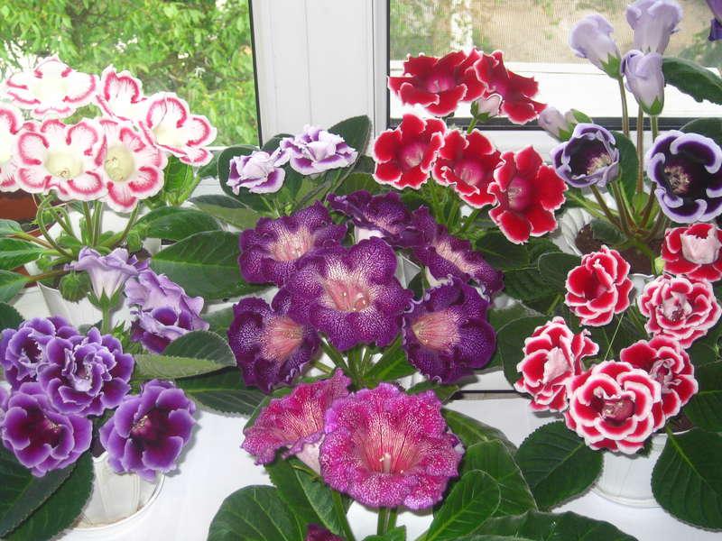 Цветок глоксиния в домашних условиях 50