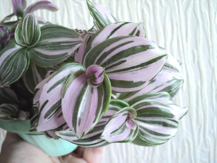 Tradescantia fluminensis variegata  / Quicksilver /, Геснериевые от Ulmo, Фиалки, форум