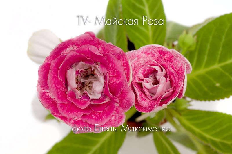 глоксиния майская роза фото