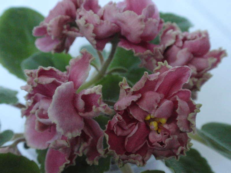 фиалка клубничная весна