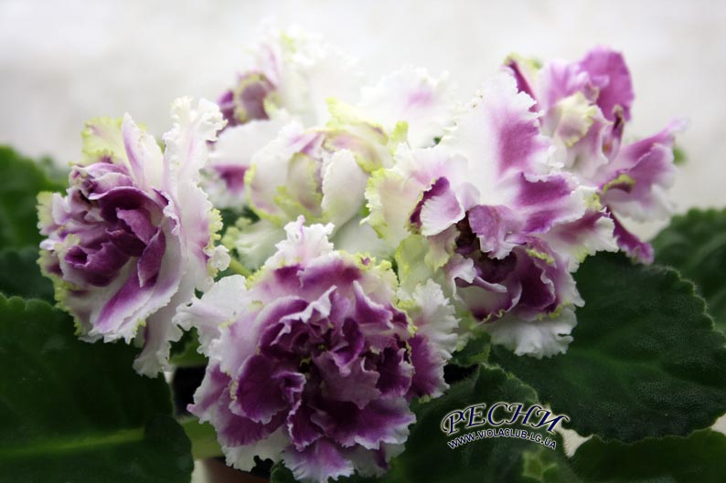 фиалка рс ледяная роза фото