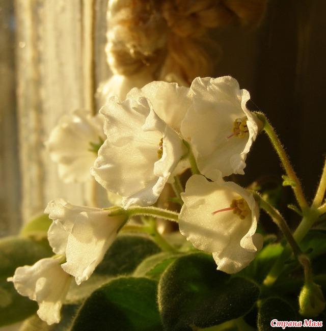 Alan's White Feather, Геснериевые от Ulmo, Фиалки, форум