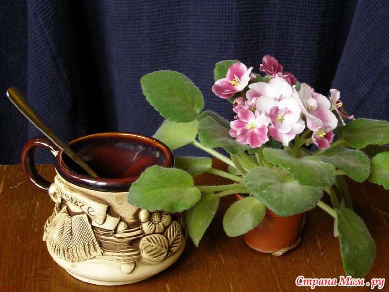 Mac's Southern Springtime, Геснериевые от Ulmo, Фиалки, форум