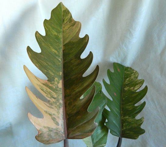 Филодендрон Philodendron Caramel Marble variegata Pink, Геснериевые от Ulmo, Фиалки, форум