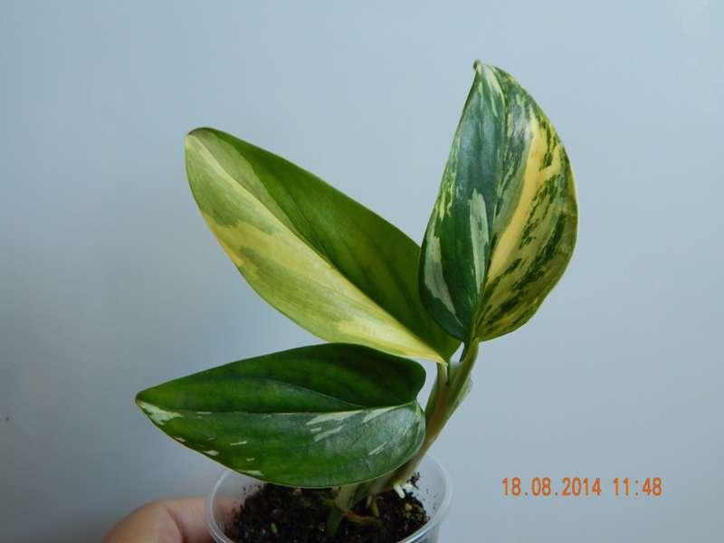 Филодендрон Cobra yellow variegated, Геснериевые от Ulmo, Фиалки, форум