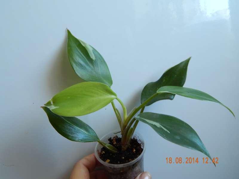Philodendron White Knight, Геснериевые от Ulmo, Фиалки, форум