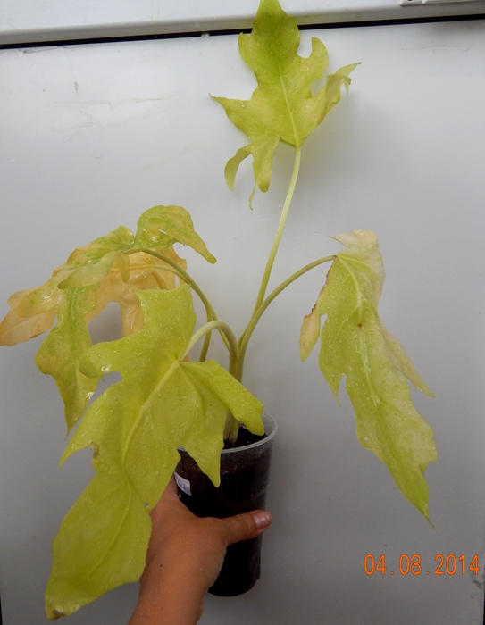 Philodendron Selloum Satin Gold, Геснериевые от Ulmo, Фиалки, форум