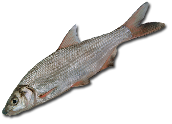русская рыбалка 3.7 зимняя сказка окунь