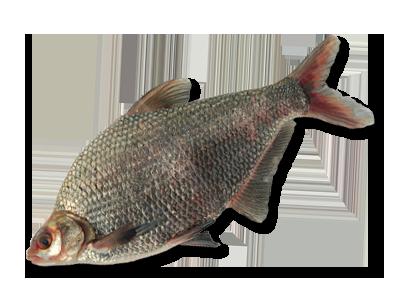черный амур рыба на что клюет