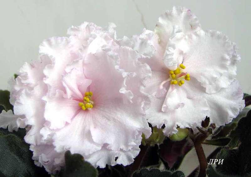 Фиалка ДжуС Аделина: 35 грн. - Комнатные растения Днепр на Olx | 564x800