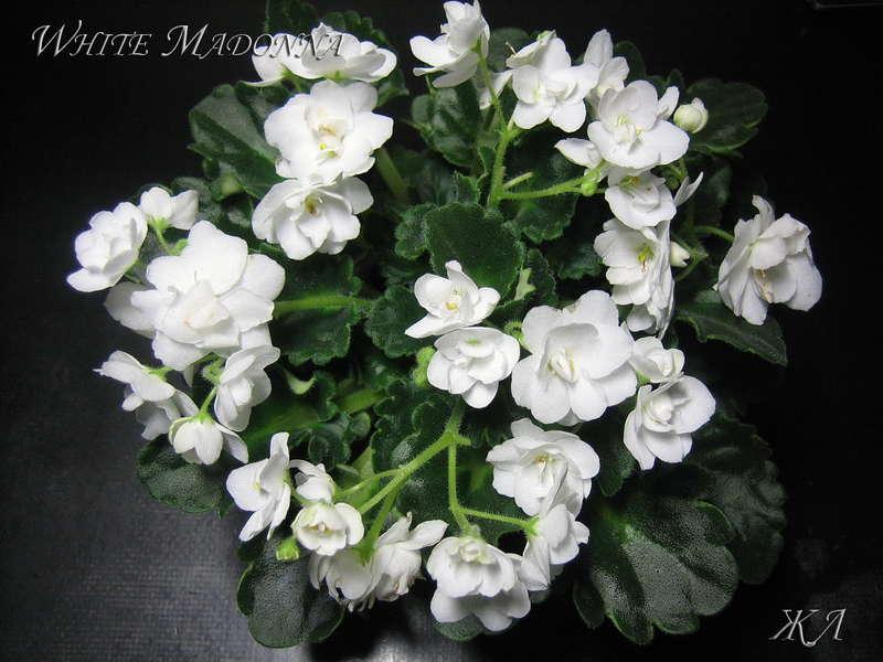 белая мадонна фиалка фото