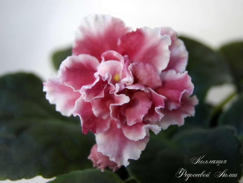 фото фиалка ягодное суфле