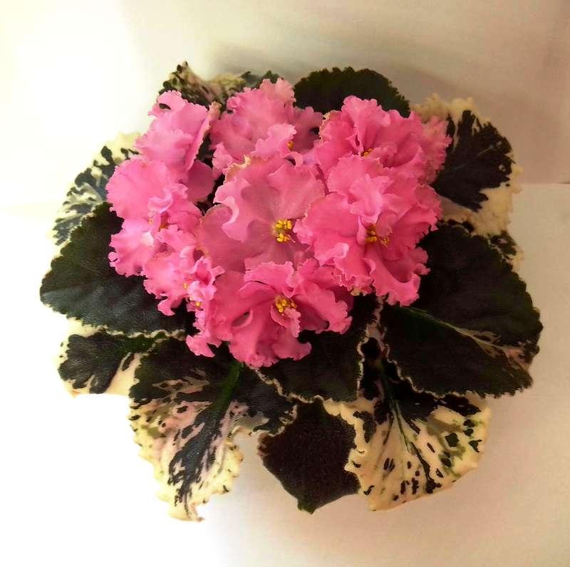 Dolores' Raspberry Sundae, Геснериевые от Ulmo, Фиалки, форум