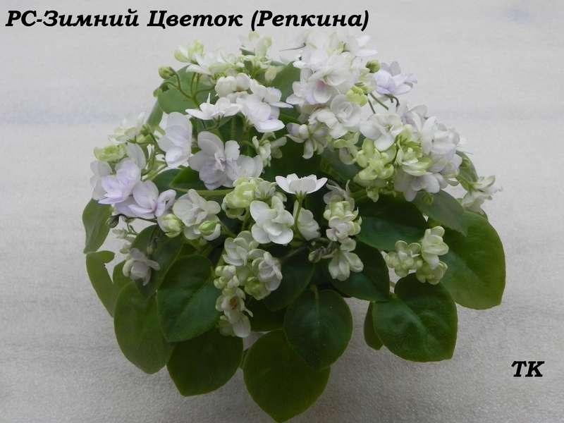 Фиалка рс зимний цветок