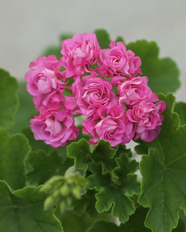 Австралиан пинк розебуд особенности выращивания 29