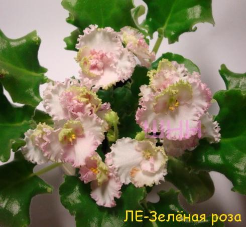 Фиалка ле-зелёная роза фото