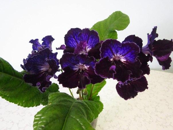 Samba - Форум цветоводов Фрау Флора 0f937f04589ce