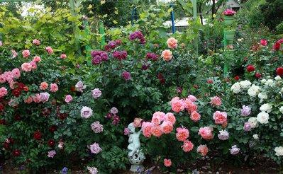 Розы сочетаются с чем
