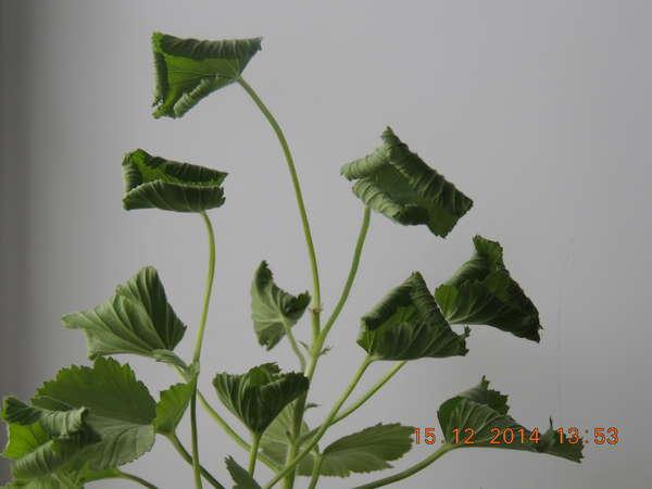 Почему скручиваются листья герани