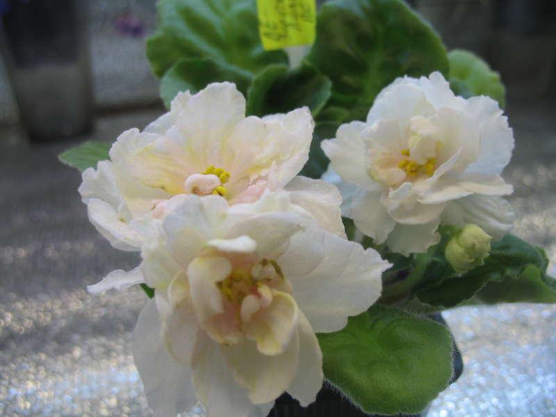 Ле-золотая лилия фиалка фото