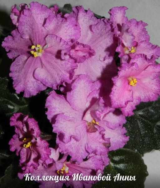 ЛЕ-Акапулько (Е. Лебецкая), Геснериевые от Ulmo, Фиалки, форум