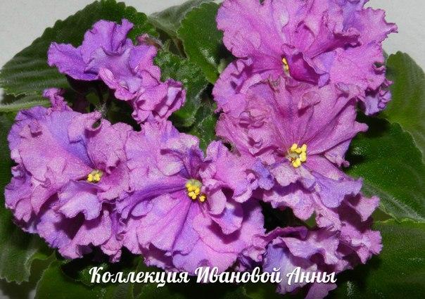ЛЕ-Таня (Е. Лебецкая), Геснериевые от Ulmo, Фиалки, форум