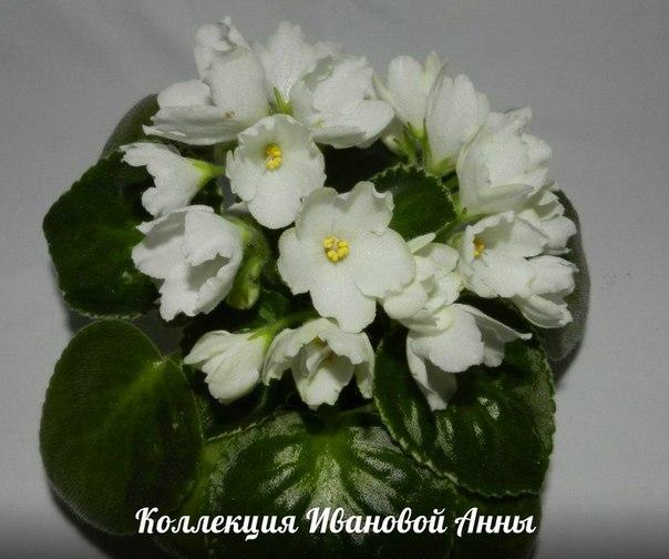 ЛЕ-Предвестник весны (Е. Лебецкая), Геснериевые от Ulmo, Фиалки, форум