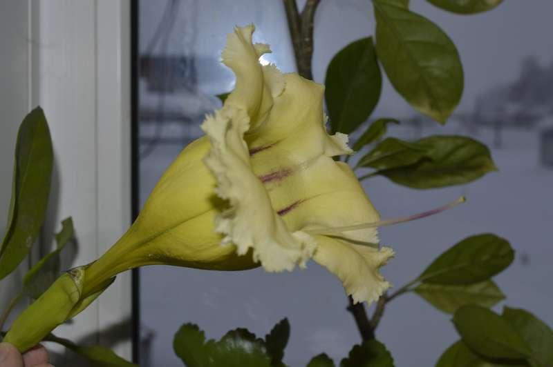 Solandra maxima, Геснериевые от Ulmo, Фиалки, форум