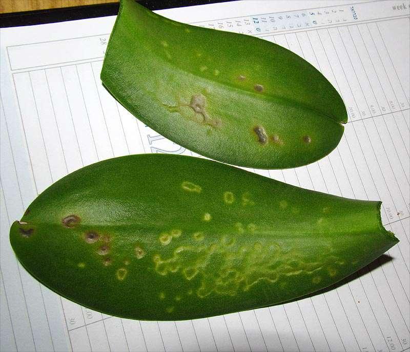 заболевания орхидей фаленопсис