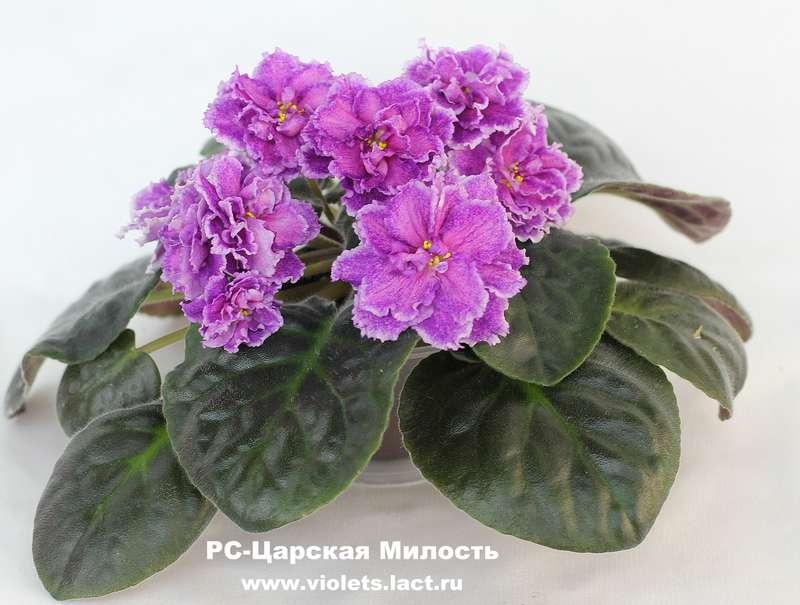 Сенполия домашняя фиалка купить сорта комнатных цветов.
