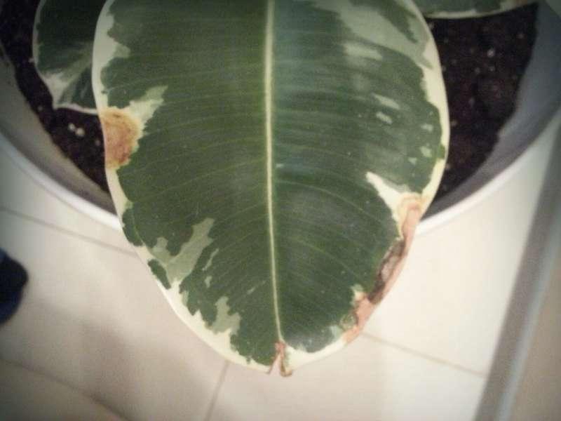 Почему на листьях фикуса пятна