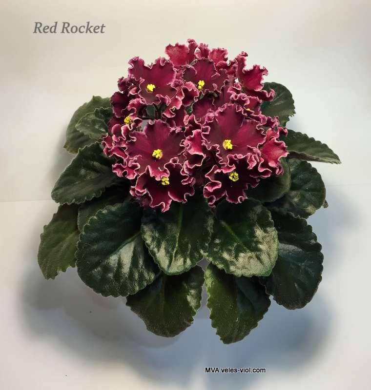 фиалка фото red rocket