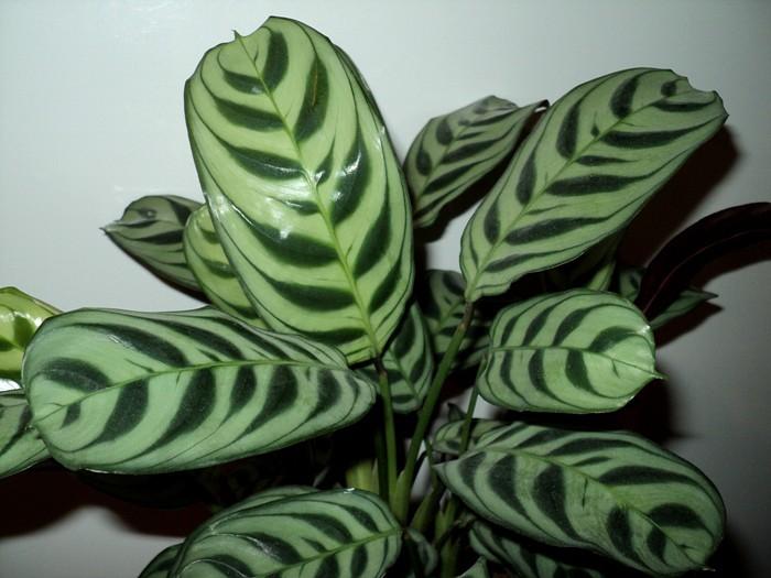 Строманта приятная (Stromanthe amabilis ), Геснериевые от Ulmo, Фиалки, форум