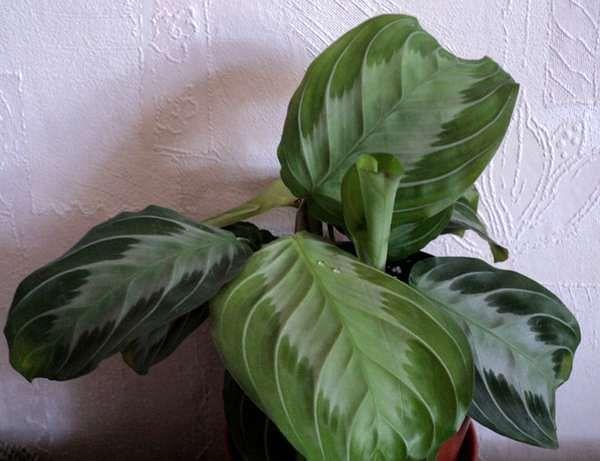 Маранта Maranta leuconeura f. leuconeura 'Emerald Beauty, Геснериевые от Ulmo, Фиалки, форум