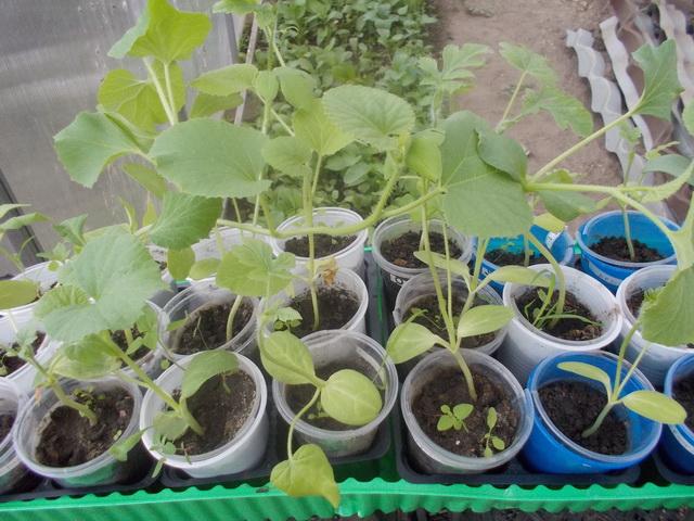 Как садить арбузы и дыни на рассаду 27