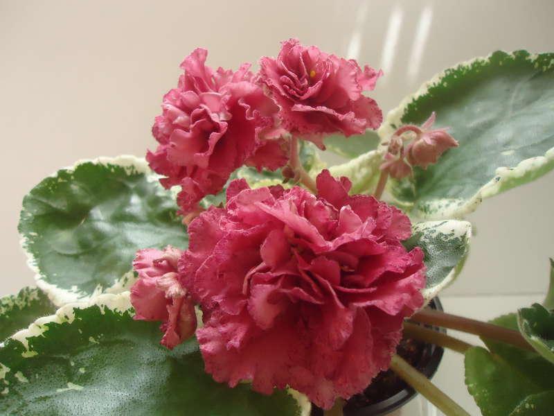 Коричневая роза фиалка