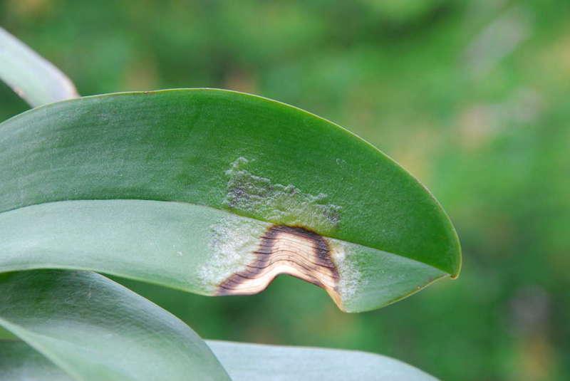болезни орхидеи фаленопсис