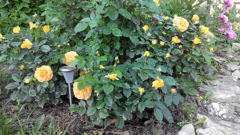 Розы из Подворья на сезон 2016 (Тантау, Кордес, Фрайерс и др)