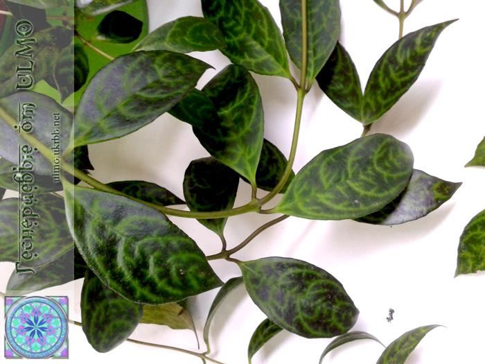 Aeschynanthus Longicaulis, Геснериевые от Ulmo, Фиалки, форум