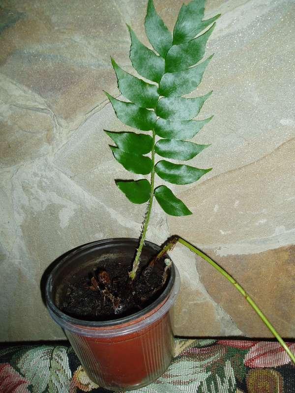 Чайное дерево мелалеука  уход в домашних условиях