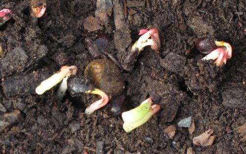 Как сажать семенами пионы